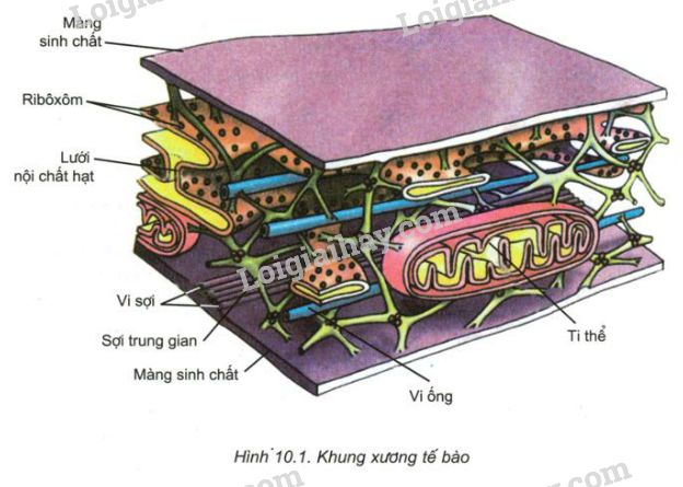 Kết quả hình ảnh cho khung xương tế bào