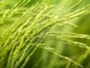 Cảm nhận khi đọc bài Cốm - một thứ quà của lúa non