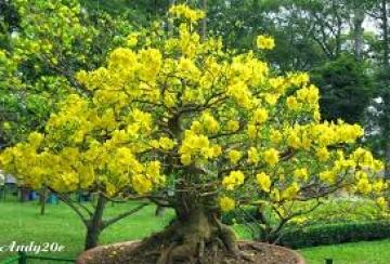 Tả cây mai vào dịp Tết đến xuân về