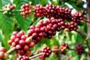 Hãy phân tích sự phát triển sản lượng cà phê (nhân) và khối lượng xuất khẩu cà phê  từ năm 1980 đến năm 2005