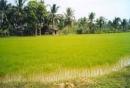 Tại sao Đồng bằng sông Cửu Long là vựa lúa lớn nhất cả nước?