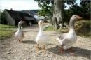 Viết một đoạn văn tả về chim hay gia cầm (gà, vịt, ngỗng) mà em biết