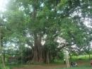 Tả cây đa (hay cây xoan ) nơi vườn quê, làng quê