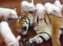 Bài 2 - Nhà em có một chú lợn hay ăn chóng lớn. Em hãy tả chú lợn ấy