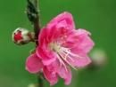 Em hãy tả vẻ đẹp của cây hoa đào đang trổ bông vào những ngày sắp Tết