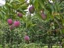Em hãy chọn và miêu tả vẻ đẹp của một loài cây thân thuộc ở quê hương em lúc nó đang mùa quả chín