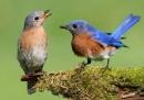 Đôi chim sơn ca