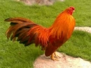 Em hãy tả một con gà trống