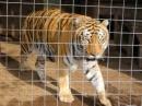 Phân tích tâm trạng con hổ trong bài thơ Nhớ rừng của Thế Lữ