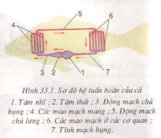 Cấu tạo trong của cá chép