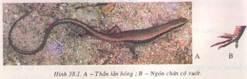 Chương VI : Ngành động vật có xương sống – Thằn lằn bóng đuôi dài – Hướng dẫn giải bài tập SGK Sinh học 7 trang 126