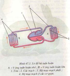 Kết quả hình ảnh cho Vẽ sơ đồ vòng tuần hoàn máu của thú