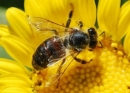 Ong Mật, ong Vằn, và ong Bắp Cày