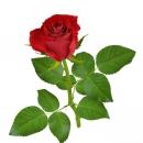 Em hãy tả cây hồng đang ra hoa