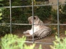 Cảm nhận về hình tượng con hổ trong bài thơ