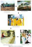 Dựa vào hình 11, em hãy cho biết một số công việc để sản xuất đường từ cây mía.