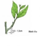 Thực hành bài 5 trang 26 SGK Công Nghệ 9 - Trồng cây ăn quả