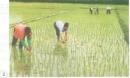 Vào giai đoạn nào cây lúa cần nhiều nước?