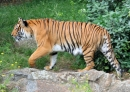 Hổ thường sinh sản vào mùa nào?
