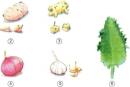 Hãy nói xem chồi có thể mọc ra từ vị trí nào trên củ khoai tây, gừng, hành, tỏi và lá bỏng ?