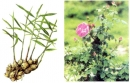 Bạn hãy chọn và trồng thử một cây bằng thân hoặc rễ hoặc lá của cây mẹ