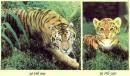 Vì sao hổ mẹ không rời con suốt tuần đầu sau khi sinh?