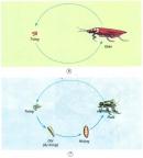 Chỉ vào từng sơ đồ và nói về sự sinh sản của ruồi và gián. Nêu sự giống nhau và khác nhau trong chu trình sinh sản của chúng.
