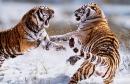 Khi nào hổ mẹ dạy hổ con săn mồi ? Khi nào hổ con có thể sống độc lập ?