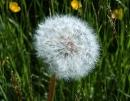 Bạn có nhận xét gì về màu sắc hoặc hương thơm của hoa thụ phấn nhờ côn trùng và hoa thụ phấn nhờ gió ?