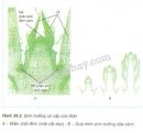 Quan sát hình 34.2 và chỉ rõ vị trí và kết quả của quá trình sinh trưởng sơ cấp của thân, rồi cho biết sinh trưởng sơ cấp của cây là gì?