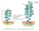 Quan sát hình 36 và trả lời câu hỏi: Khi nào cây cà chua ra hoa và dựa vào đâu để xác định tuổi của thực vật một năm?