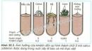 Quan sát hình 35.3 và cho nhận xét về vai trò của xitôkinin đối với sự hình thành chồi trong mô callus (trong nuôi cấy mô thực vật).