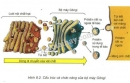Dựa vào hình 8.2 hãy cho biết những bộ phận nào của tế bào tham gia vào việc vận chuyển một protein ra khỏi tế bào?