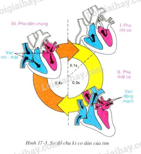 Quan sát hình 17-3, cho biết mỗi chu kì co dãn của tim kéo dài bao nhiêu  giây?