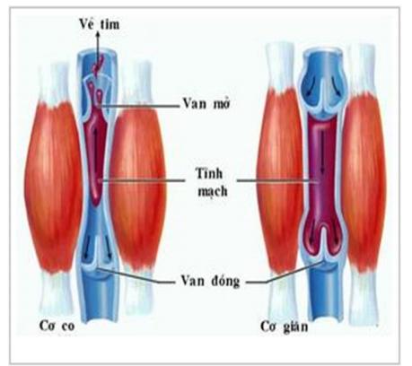 Vận chuyển máu trong tĩnh mạch