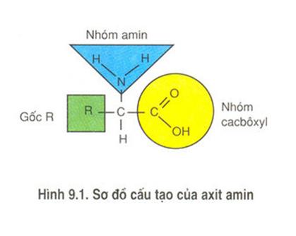 Hình 9.1 Sơ đồ cấu tạo của axit amin