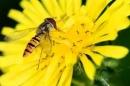 Thuyết minh về con ong.