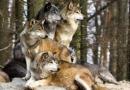 Thuyết minh về một loài thú hoang dã: Chó sói.