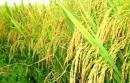 Em hãy viết đoạn văn thuyết minh về lợi ích của cây lúa