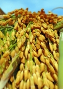 Em hãy viết đoạn văn thuyết minh về những giá trị tinh thần mà cây lúa mang lại cho đời sống con người Vỉệt Nam
