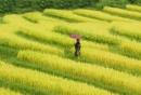Tả một cánh đồng lúa đang thì con gái