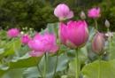 Giới thiệu về loài hoa của làng quê Việt Nam