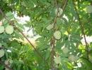 Giới thiệu về một loài cây quen thuộc của quê em