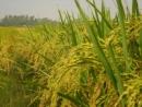 Cây lúa trong đời sống người Việt Nam ( Bài 2)