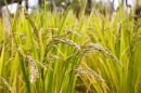 Cây lúa trong đời sống người Việt Nam ( Bài 4 )