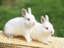 Thuyết minh về con thỏ