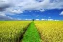 Tả cánh đồng lúa vào một buổi sáng đẹp trời