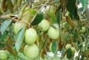 Hãy miêu tả một cây ăn quả trong mùa quả chín