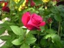 Tả một cây hoa mà em thích nhất