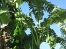 Tả cây chuối trong vườn nhà